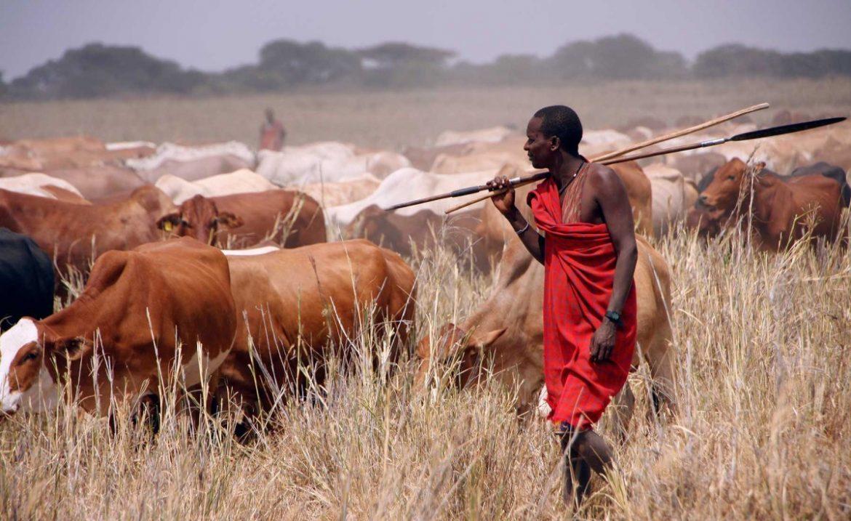 Benue: Six herdsmen arrest,  376 cows impound